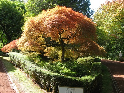 Forest Glade Gardens Acer Palmatum